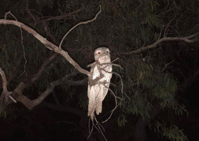 Frogmouth enjoying our company at Kalpower Crossing Campground