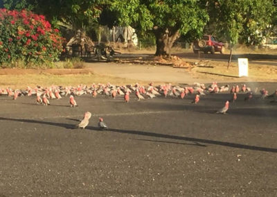 What a bunch of Galahs! — at Laura Motel - Cape York, Qld